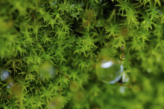 Moss with water droplets.  I wish I had increased the f-stop a wee bit to give this image greater depth of field, and a clear sot of a rain drop.