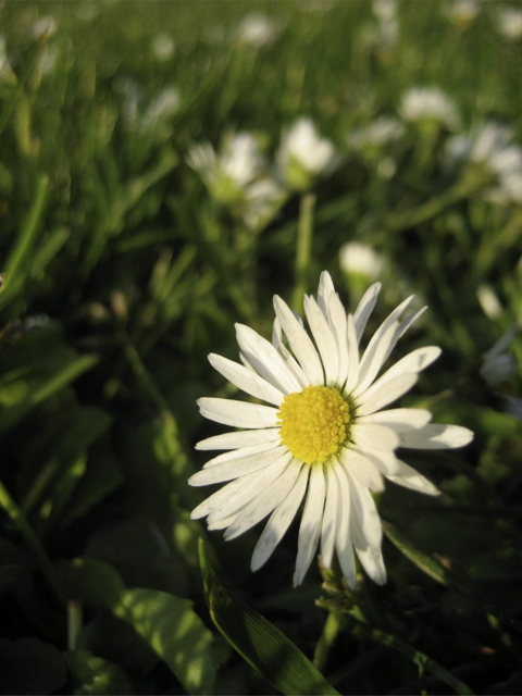 Just one of a sea of white flowers in the park.